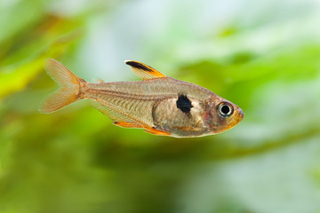 Aquarium fish Rosy Tetra. macro view