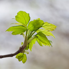 Young leaves. Spring. (Soft focus).