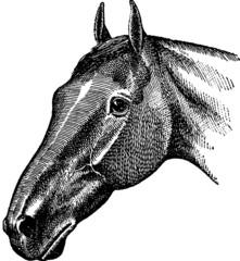 Vintage Illustration horse head