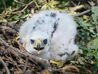 Northern goshawk chick