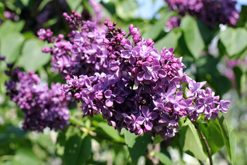 lilac bushes in the spring
