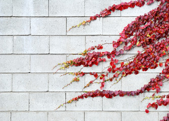 Red ivy leaves in autumn on a white bricks wall