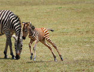 leaping small zebra