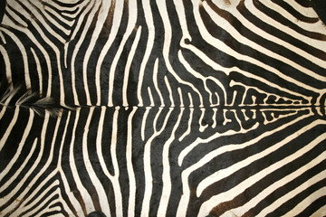 Black and white texture pattern of an original zebra skin