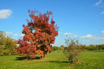Осень, дерево с красной листвой в парке