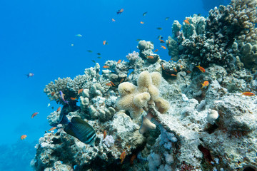 colorful coral reef in tropical sea - underwater