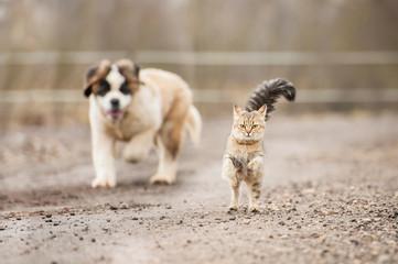 Wall Mural - Saint bernard puppy running behind adult tabby cat