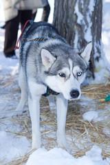 Husky dog used in sled on leash