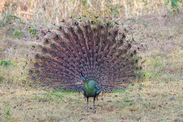 Male Peacock(Pavo Linnaeus) spread his tail