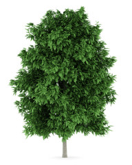 rowan tree isolated on white background