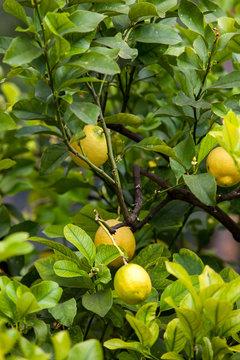 lemon tree.  Bunch of ripe lemons