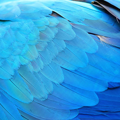 Foto auf Leinwand Texturen Blue and Gold Macaw feathers