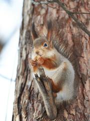 Squirrel on tree with walnut