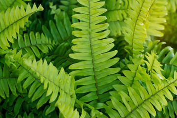 fresh green fern leaves after the rain
