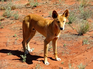 dingo at ayers rock, australia