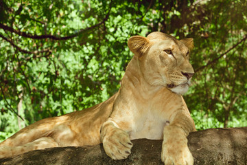 Female lion relaxing on a rock in the green brushwood