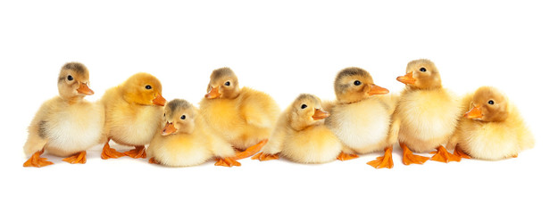 Group of fluffy ducklings isolated
