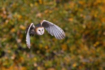 Wall Mural - Barn owl in flight