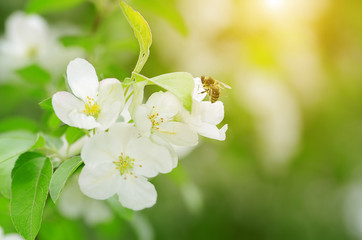 Beauty apple flower with bee