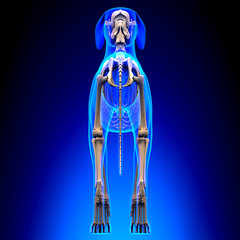 Dog Skeleton - Canis Lupus Familiaris Anatomy - back view
