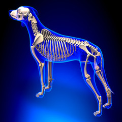 Dog Skeleton - Canis Lupus Familiaris Anatomy - perspective view