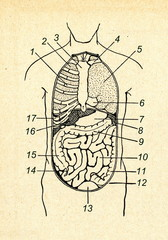 Front view of human viscera