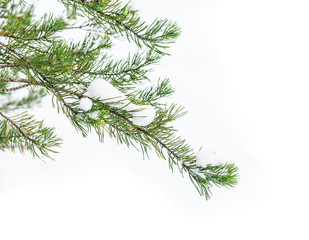 The snow-covered branch of a fir-tree flies on pure snow