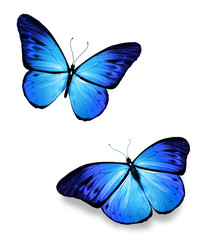 Two blue butterflies on white