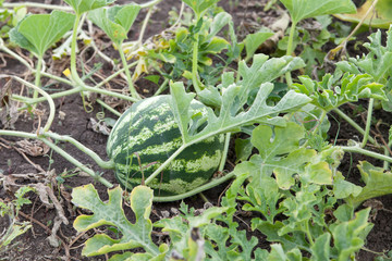 agriculture. Natural watermelon growing in the field