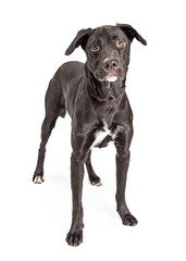Black Labrador Crossbreed Dog Standing