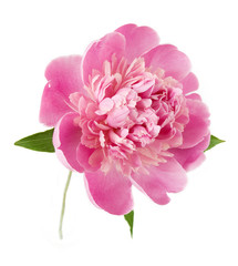 Peony flower closeup isolated on white