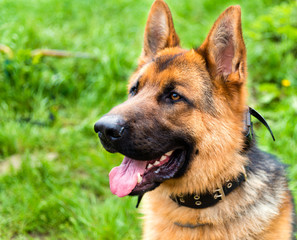 German Shepherd portrait.