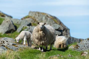 Schafe auf den Lofoten am weiden - sheeps
