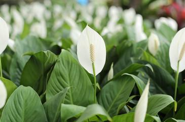 White anthurium andreanum flowers