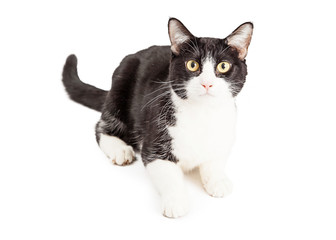 Attentive Black and White Cat
