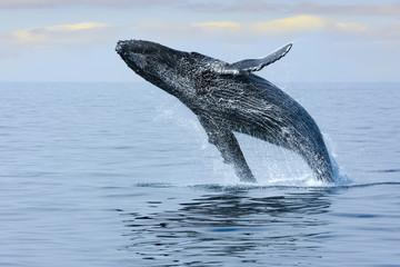 Breaching Hump Back Whale