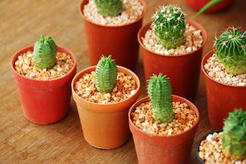 close up many cactus in plastic pot