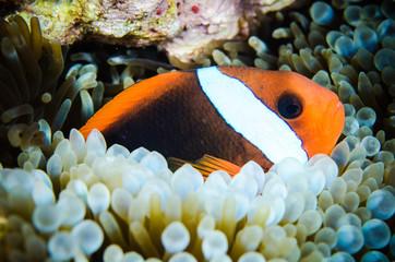 Anemonefish Bunaken underwater amphiprion rubrocinctus