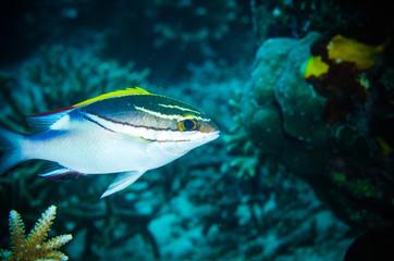 bridled monocle bream Bunaken underwater scolopsis bilineatus
