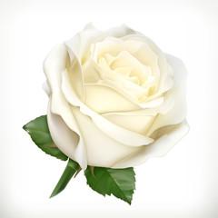 White rose, vector illustration