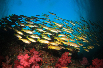 School Bigeye Snapper fish on coral reef