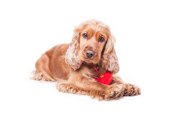 Valentines day spaniel puppy
