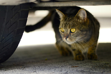Domestic cat - under the car