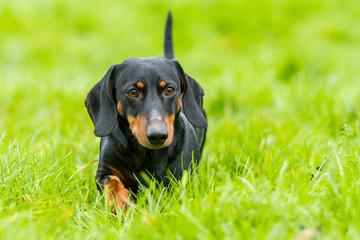 Ein Dackel im Gras