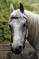 Cavallo.