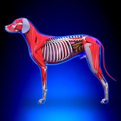Dog Internal Organs Anatomy - Anatomy of a Male Dog Internal Org