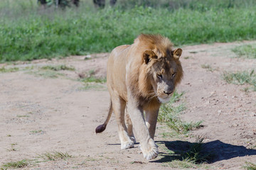 Lion Wildlife
