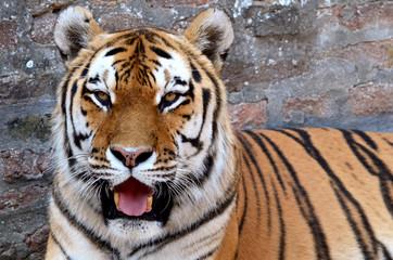 Fototapete - Tiger 8