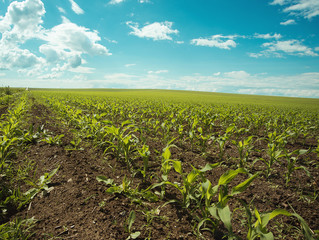Corn field and blue sky.