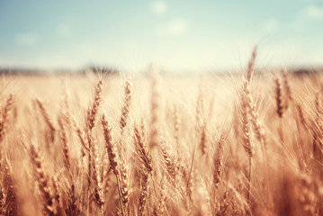 Canvas Prints Culture wheat field and sunny day